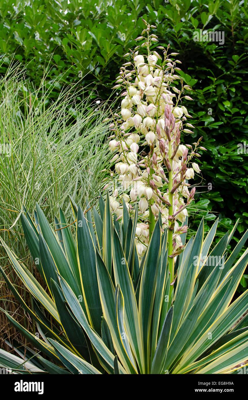 Yucca Gloriosa Variegata En Fleur Banque D Images Photo Stock