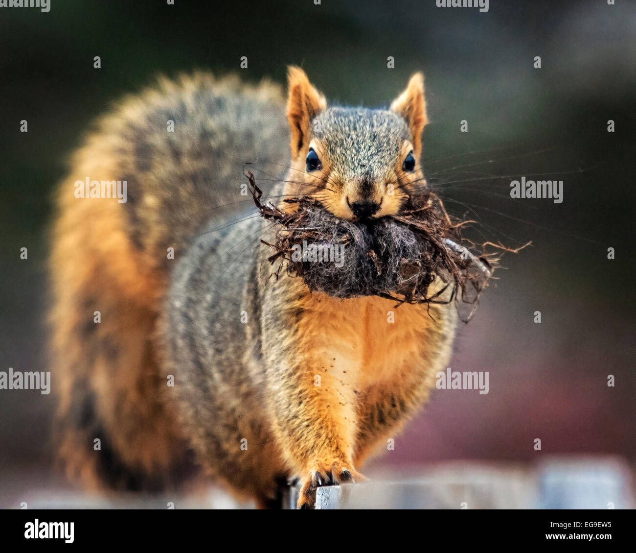 Close-up of squirrel avec des racines dans la bouche Photo Stock