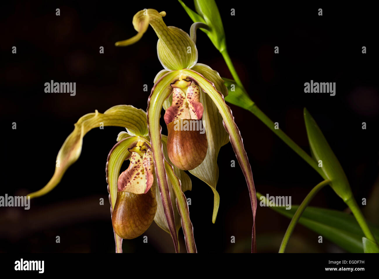 Pétale longue Phragmipedium Grande Macrochilum Lady's Slipper orchidée fleur sur fond noir hybride Photo Stock