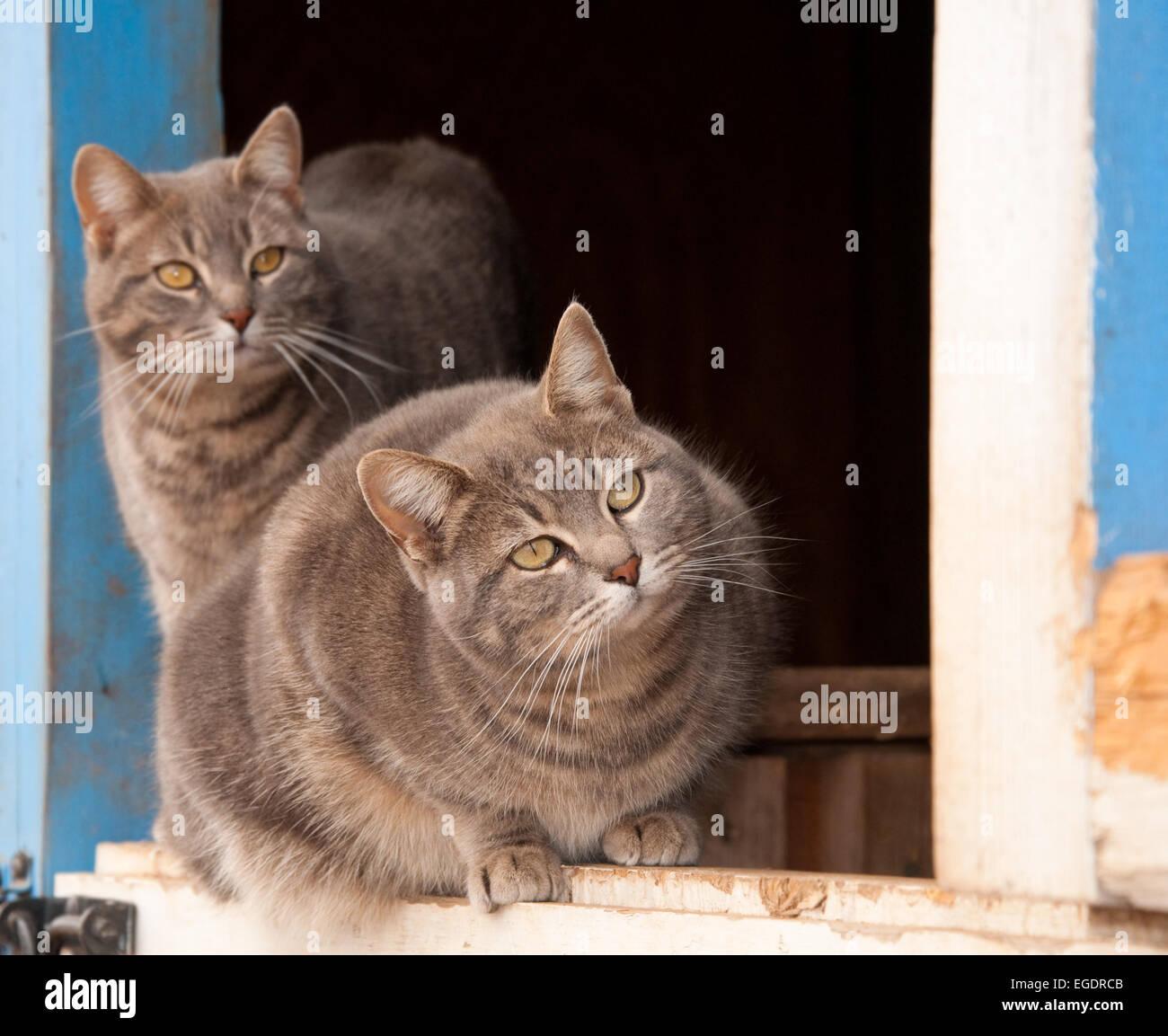Deux bleu tabby cats sur demi porte d'une grange bleue, regarder des keenlyto le droit de l'afficheur Banque D'Images