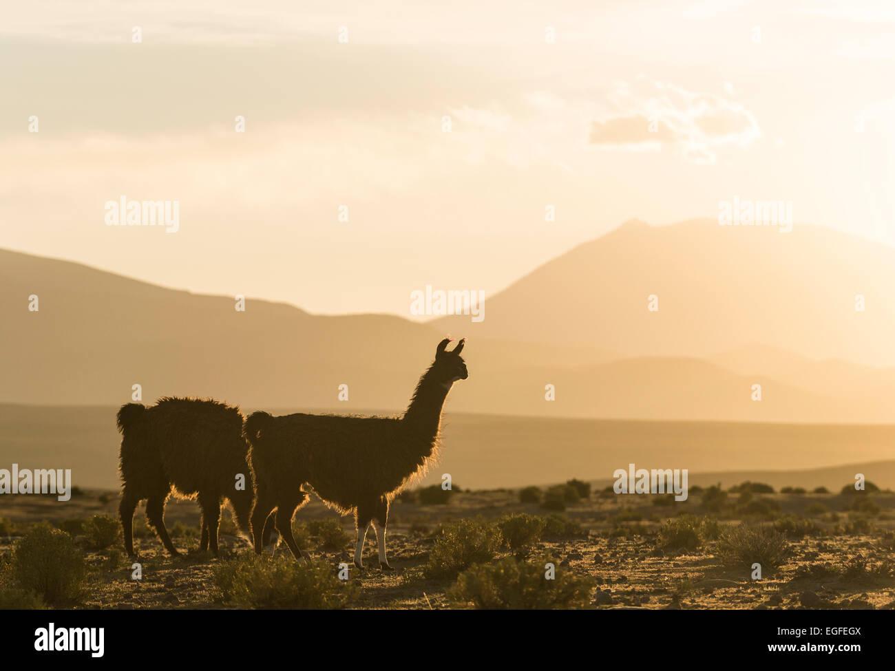 Les lamas au crépuscule, le Villa Alota, le sud de l'Altiplano, Bolivie Photo Stock