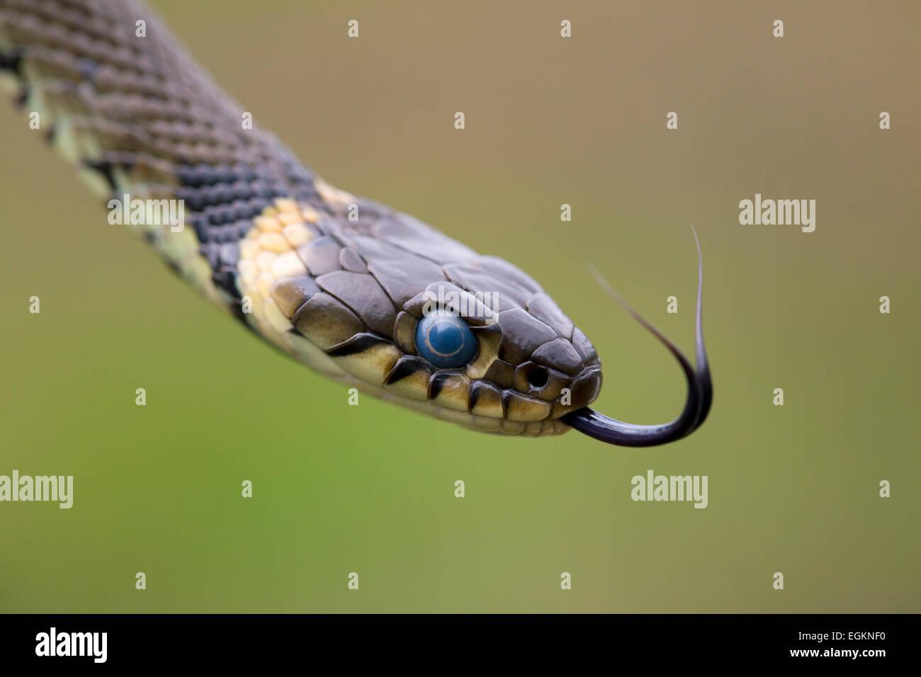 Couleuvre à collier Natrix natrix Flicking Langue maternelle; Cornwall UK Photo Stock