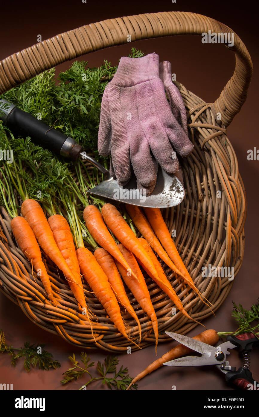 Carottes biologiques recueillies à partir d'un jardin potager. Banque D'Images