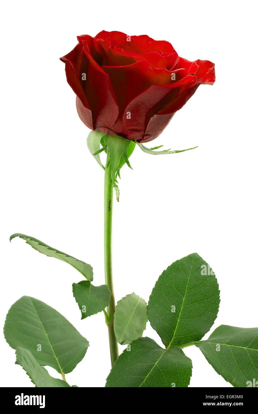 Bouton de rose rouge sur une longue tige verte banque d - Rose avec tige ...