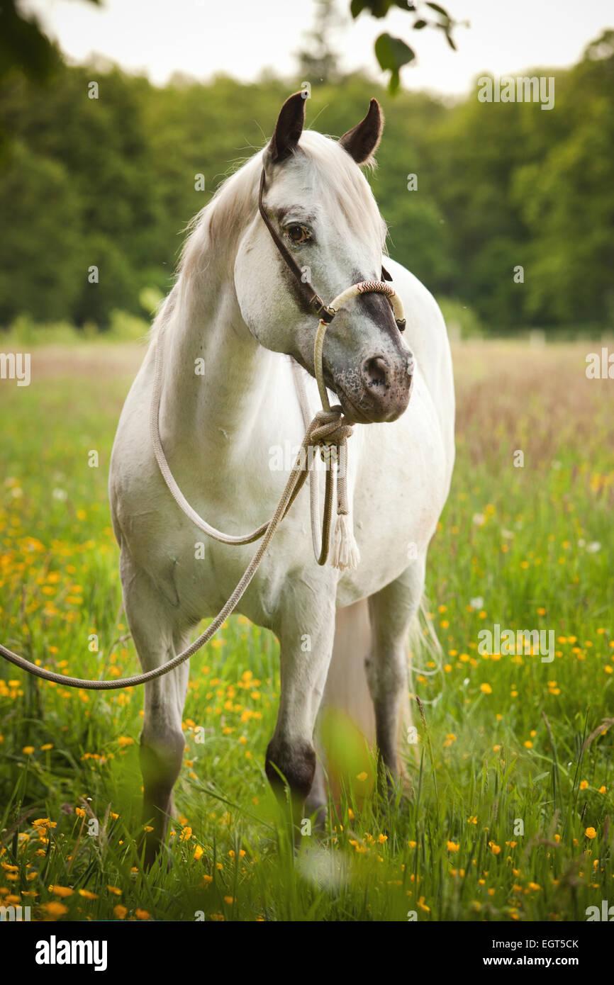 POA, poney des Amériques, mare in foal, cheval blanc portant un Bosal hackamore, un bitless bridle utilisé en équitation Western Banque D'Images