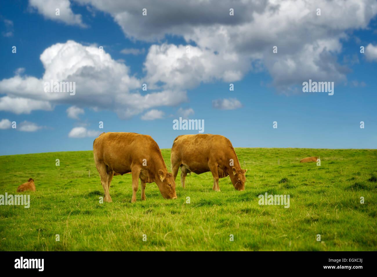 Vaches qui paissent dans les pâturages. L'Irlande. Banque D'Images