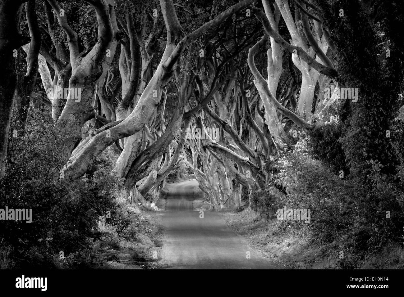 L'obscurité des haies. Route bordée de hêtres rural en Irlande. Photo Stock