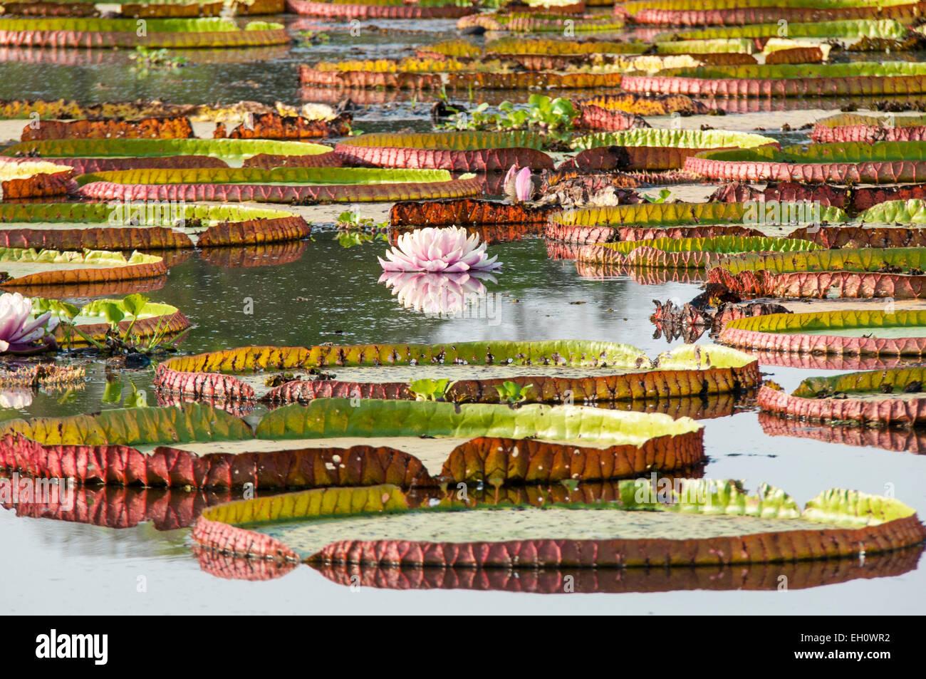 Nénuphars géants, Victoria Amazonica, autrefois appelé Victoria Regia, Panantal, Mato Grosso, Brésil, Photo Stock