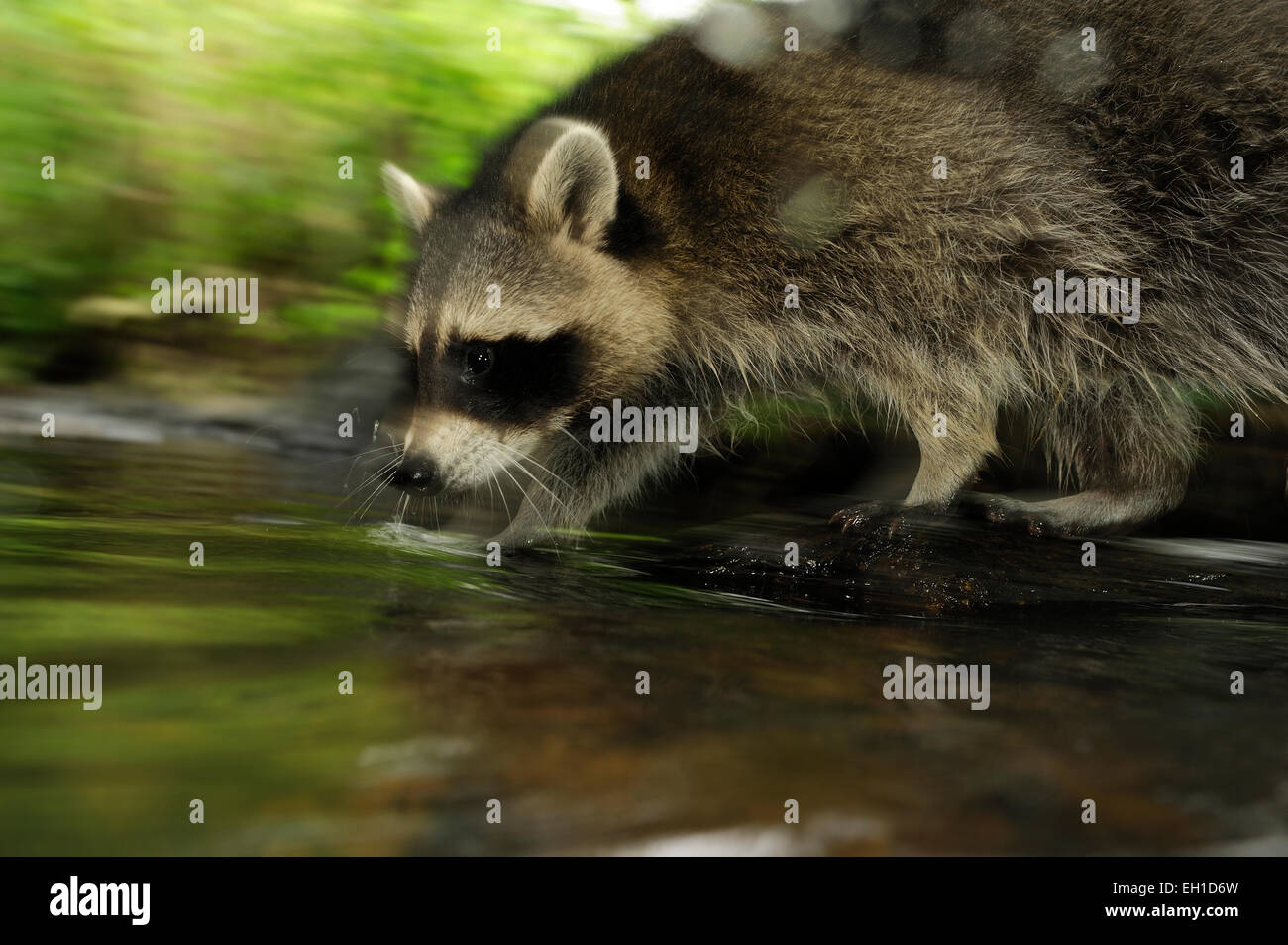 [Prisonnier] raton laveur (Procyon lotor)   Waschbär (Procyon lotor) Photo Stock