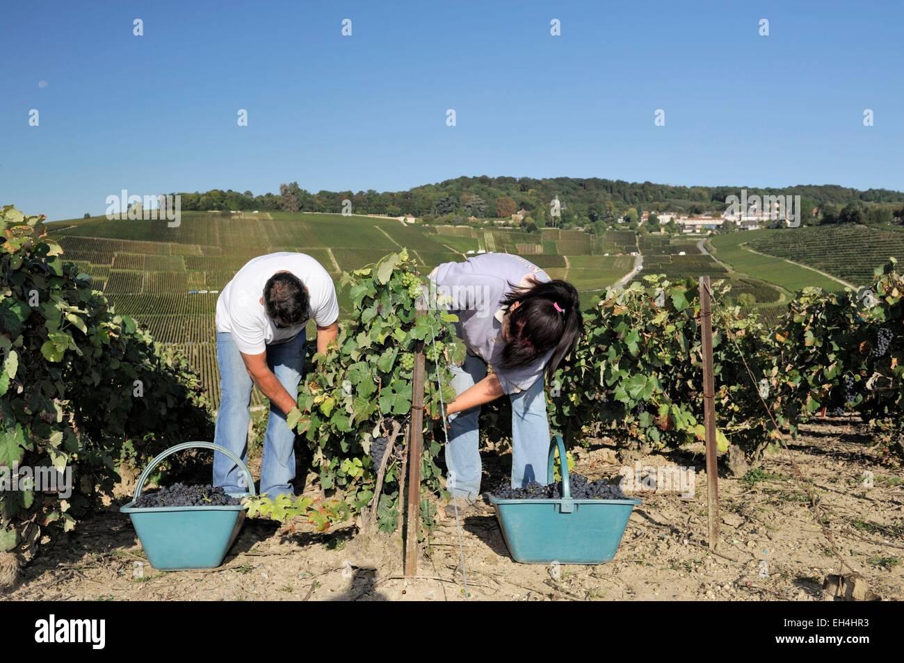 France, Marne, Reims, couple de vendangeurs dans le vignoble de Hautvillers Photo Stock