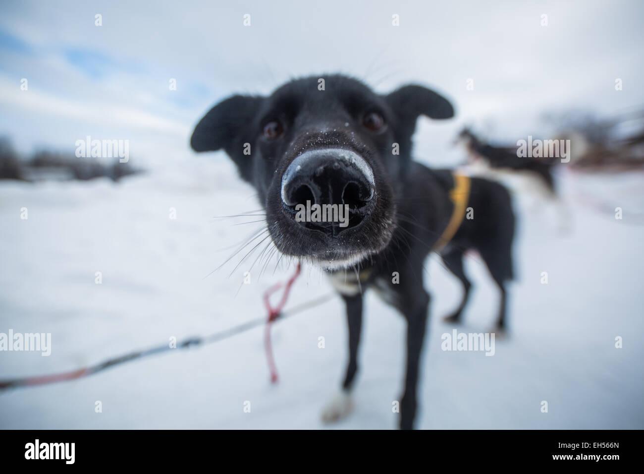 Chiens Husky sur un traîneau en Laponie Banque D'Images