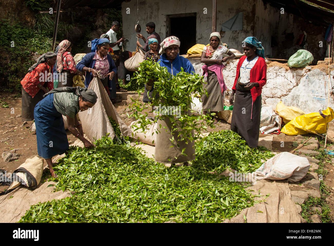 Cueilleurs de femmes tamoules qui en récolte de thé, au-dessus de Ambewela, Hill Country, au Sri Lanka, Photo Stock