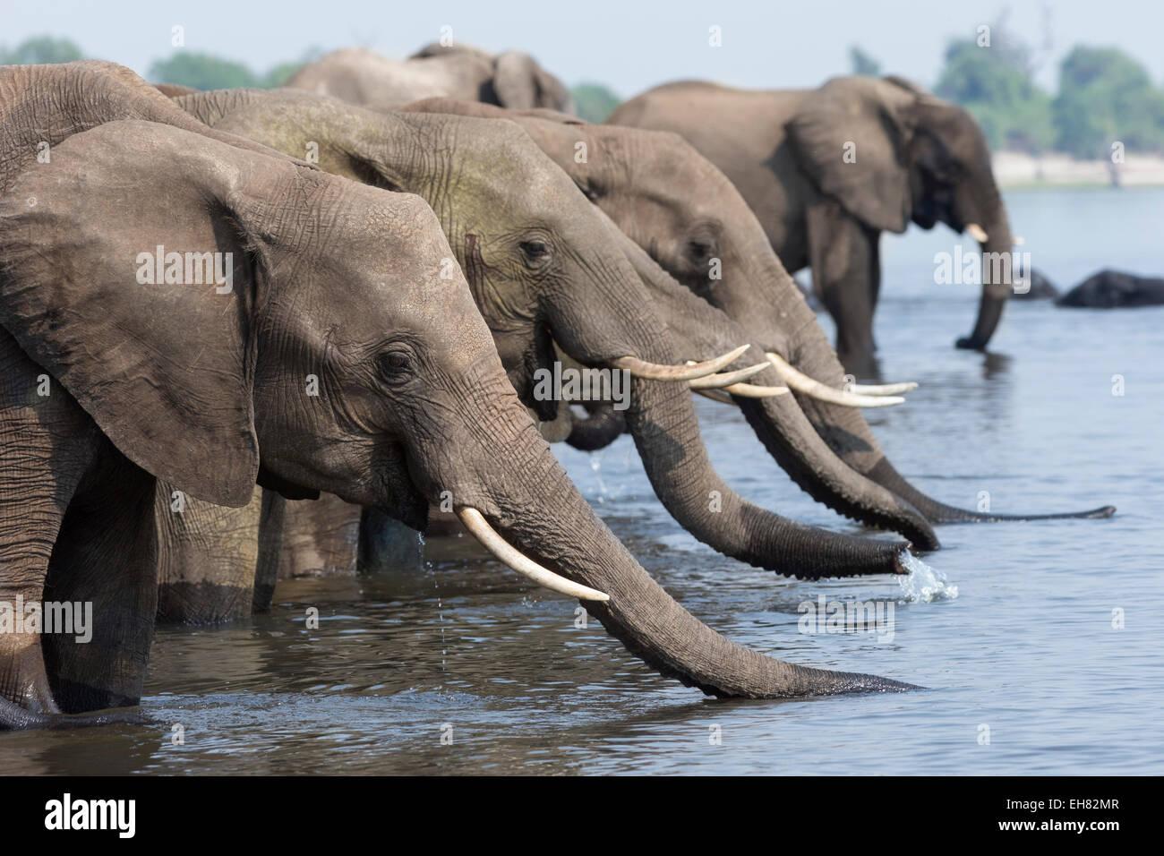 Les éléphants d'Afrique (Loxodonta africana) boire, Chobe National Park, Botswana, Africa Photo Stock