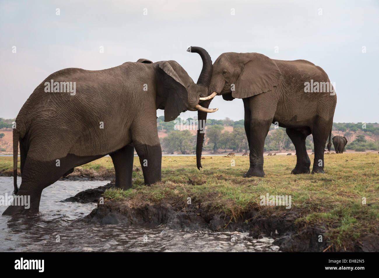 Les éléphants d'Afrique (Loxodonta africana), Chobe National Park, Botswana, Africa Photo Stock