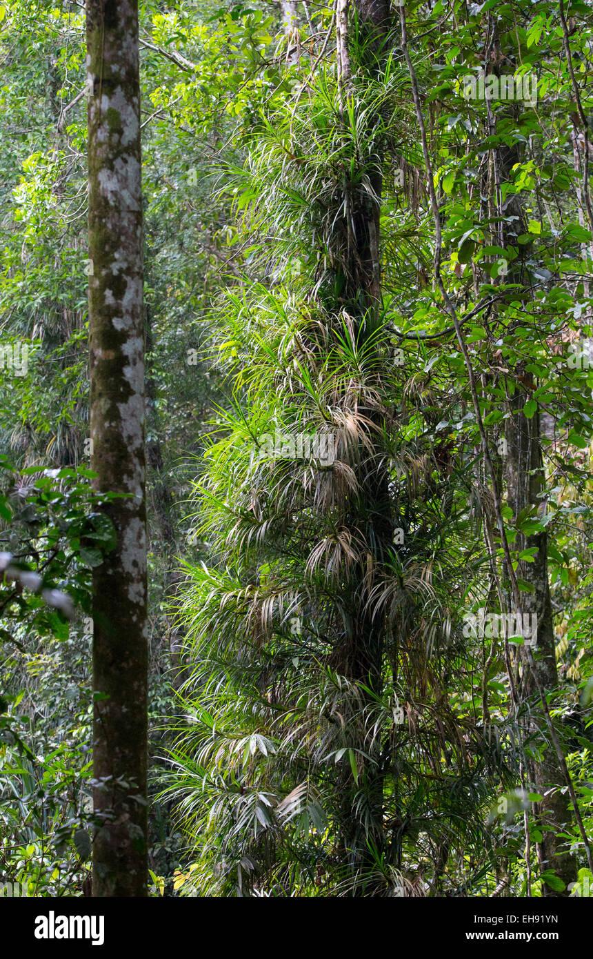 Les épiphytes poussant sur un arbre dans la luxuriante forêt tropicale dans la réserve forestière de Sinharaja, Sri Lanka Banque D'Images