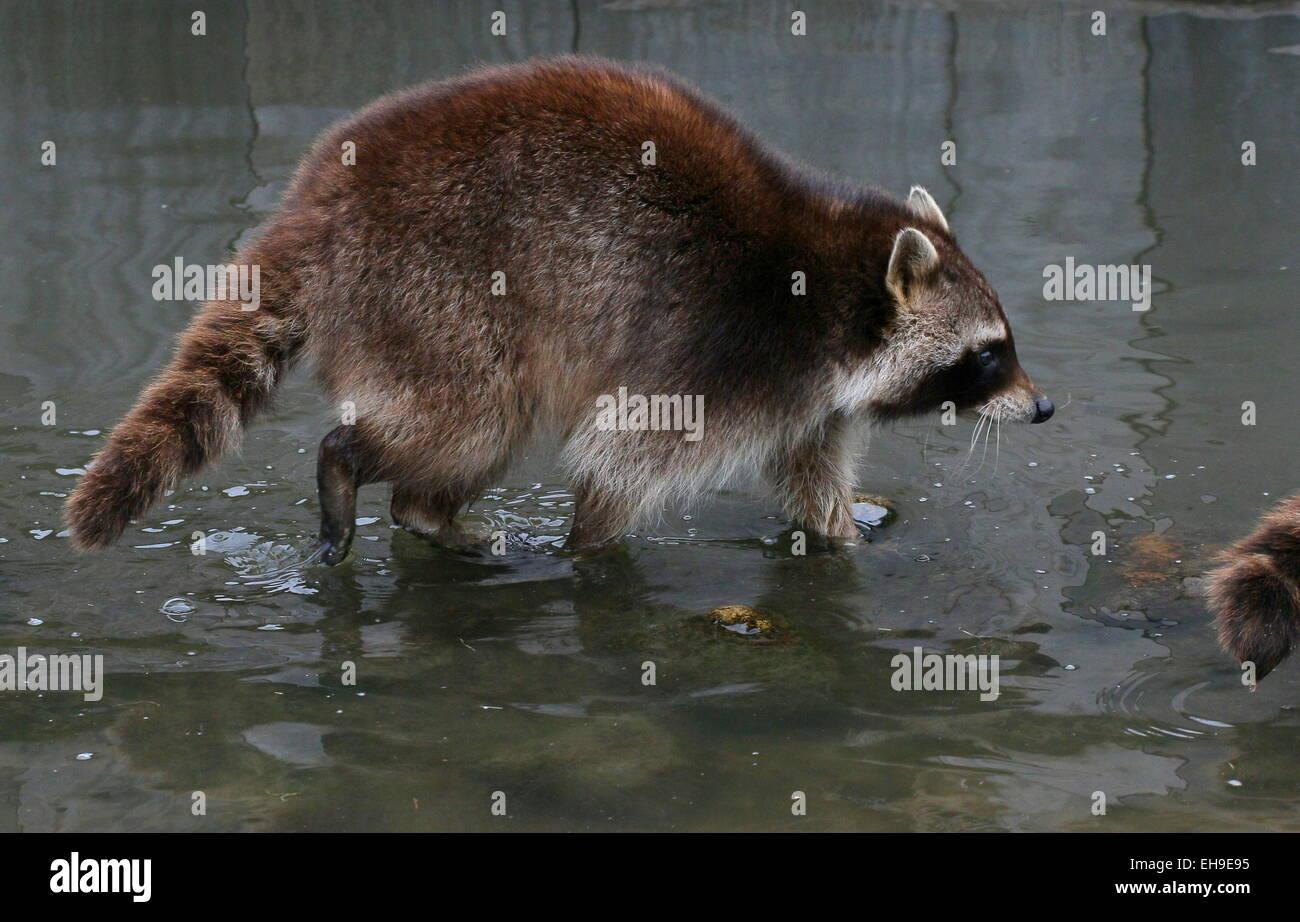 L'Amérique du Nord ou raton laveur (Procyon lotor) marcher dans l'eau peu profonde au Zoo de Blijdorp Photo Stock