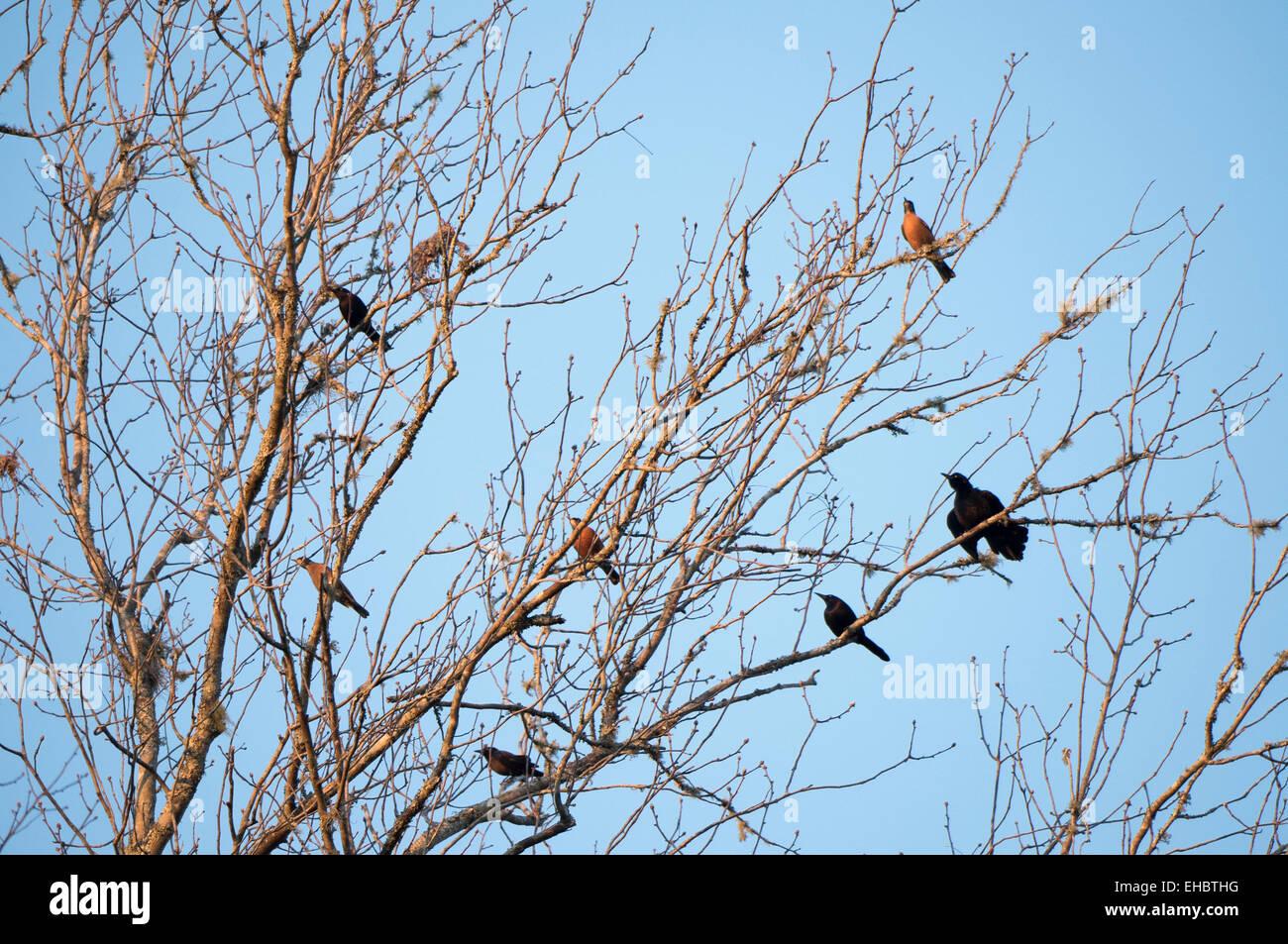 Épaulettes et sombre des Robins en hiver arbre nu Hickory Photo Stock