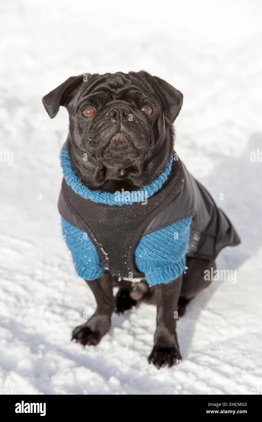 Le PUG noir dans un chandail dans la neige Photo Stock