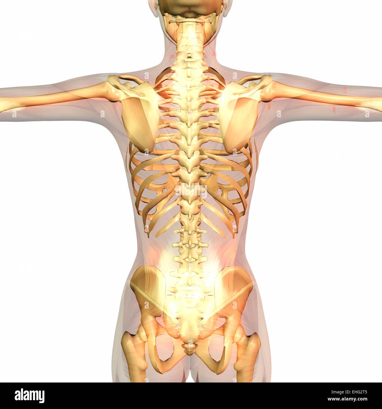 Ausgezeichnet Anatomie Und Physiologie Unterschied Galerie ...