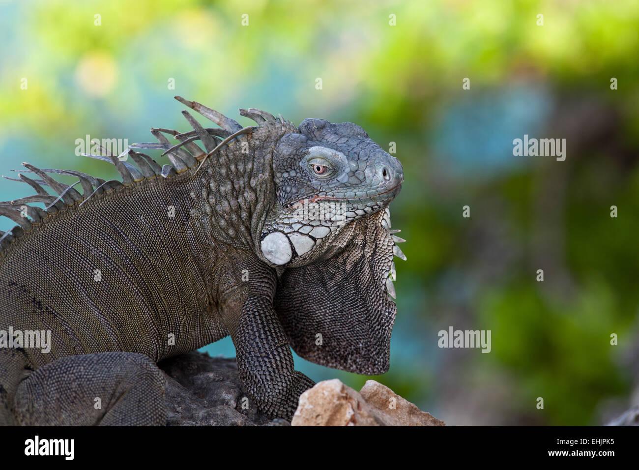 Iguane vert Banque D'Images