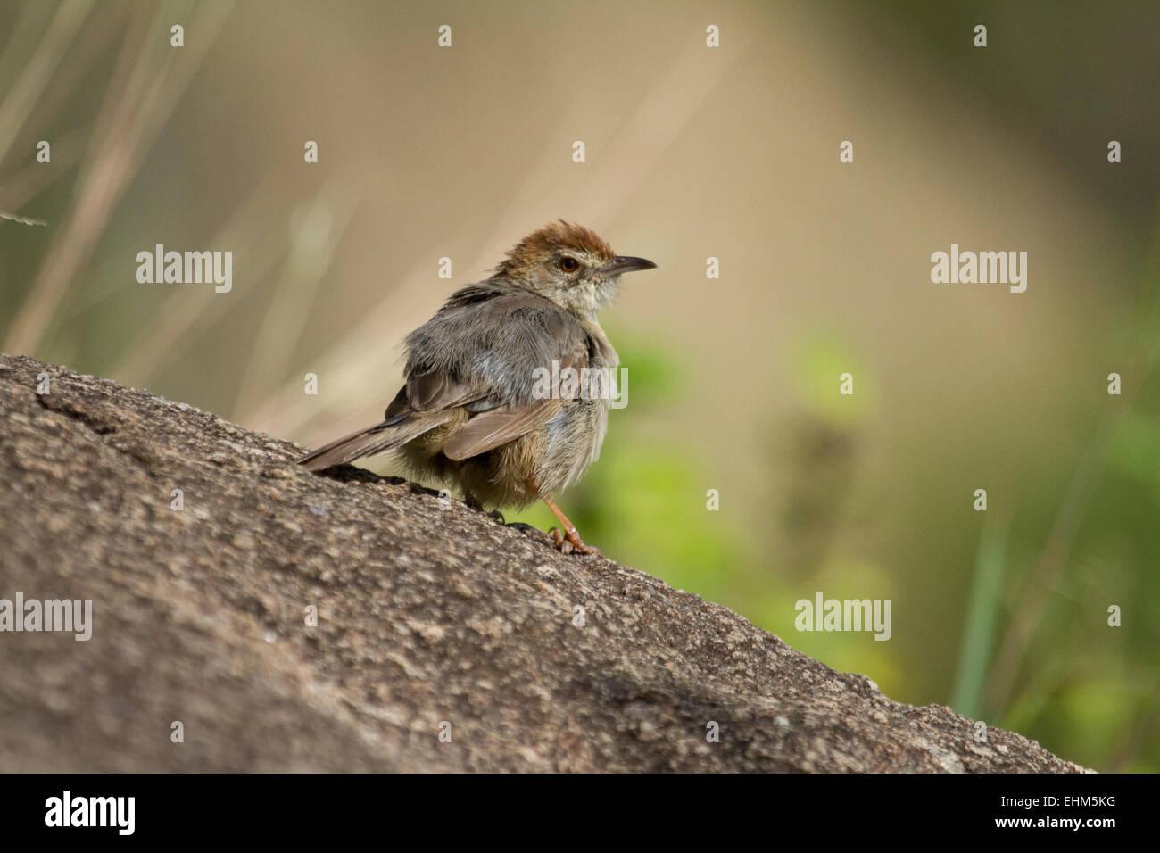 Cisticole paresseuse (Cisticole aberrans) Photo Stock