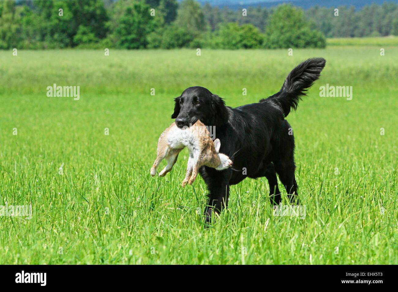 Flat-Coated Retriever Male 3 ans retour lapin sauvage Allemagne Banque D'Images