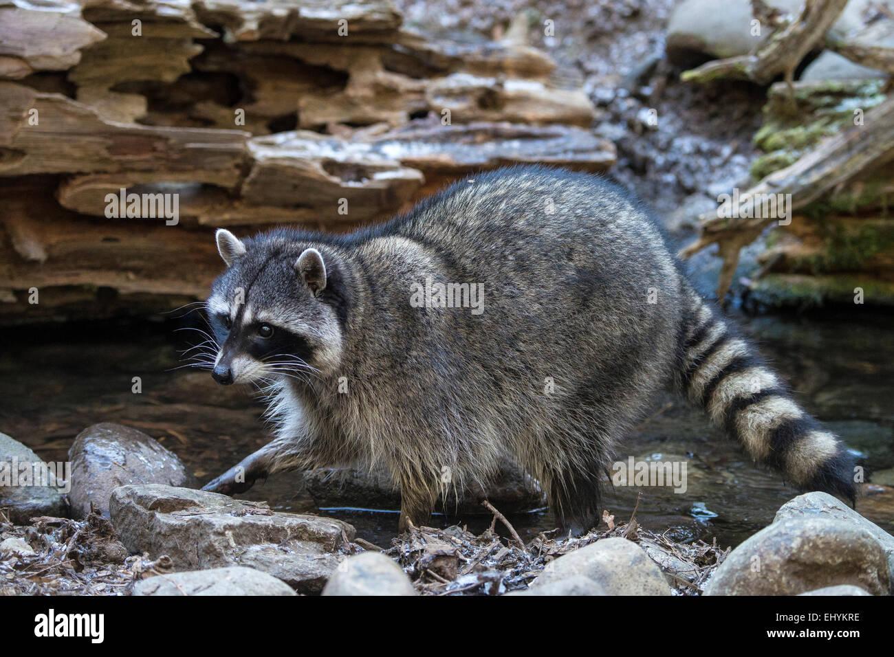 Ouaouaron, Rana catesbeiana, animal, USA, United States, Amérique, Photo Stock