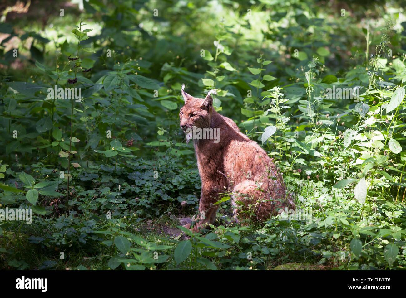 L'Europe, faune, Feloidea, félins, les terres de vertébrés, lynx, lynx, Lynx lynx, Mammalia, Photo Stock