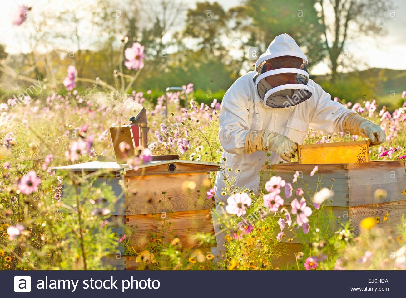 Dépose du cadre de ruche apiculteur dans la zone pleine de fleurs Photo Stock