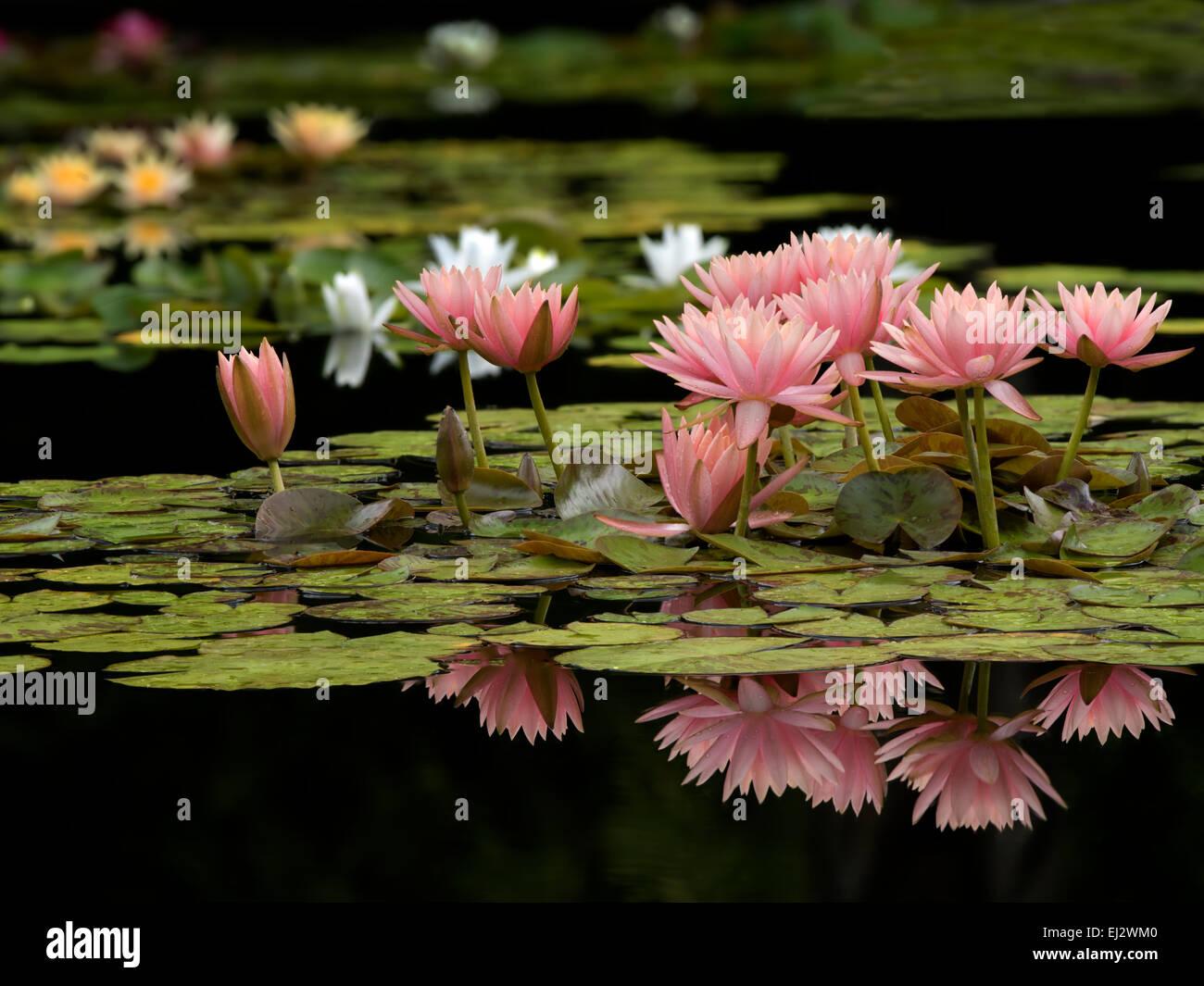 Les nénuphars en fleur en étang.avec la réflexion. Oregon Photo Stock