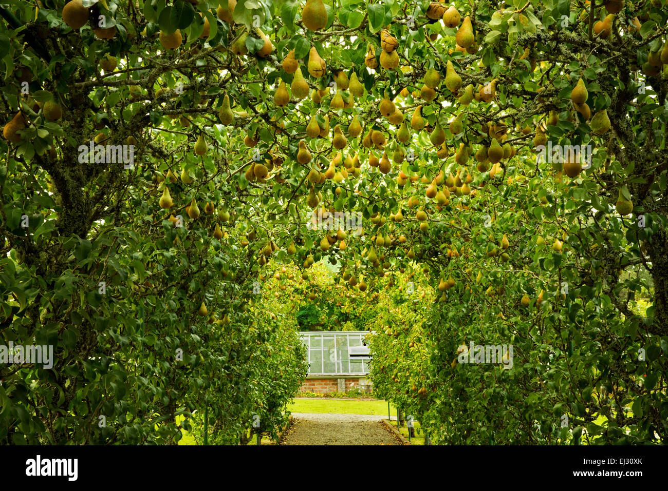 Arbor poire et le chemin dans les jardins à l'Dromoland Castle, en Irlande Photo Stock