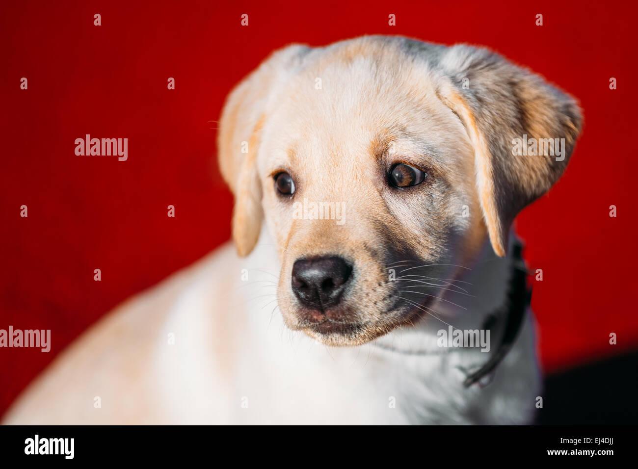 Beau chien blanc Lab Labrador Retriever chiot chiot Roquet au printemps en plein air Photo Stock
