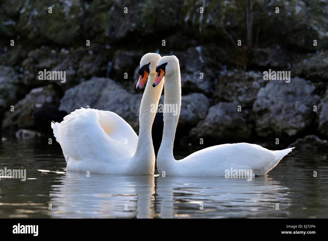 Mute swan (Cygnus olor) paire, faire la cour, Zoug, canton de Zoug, Suisse Banque D'Images