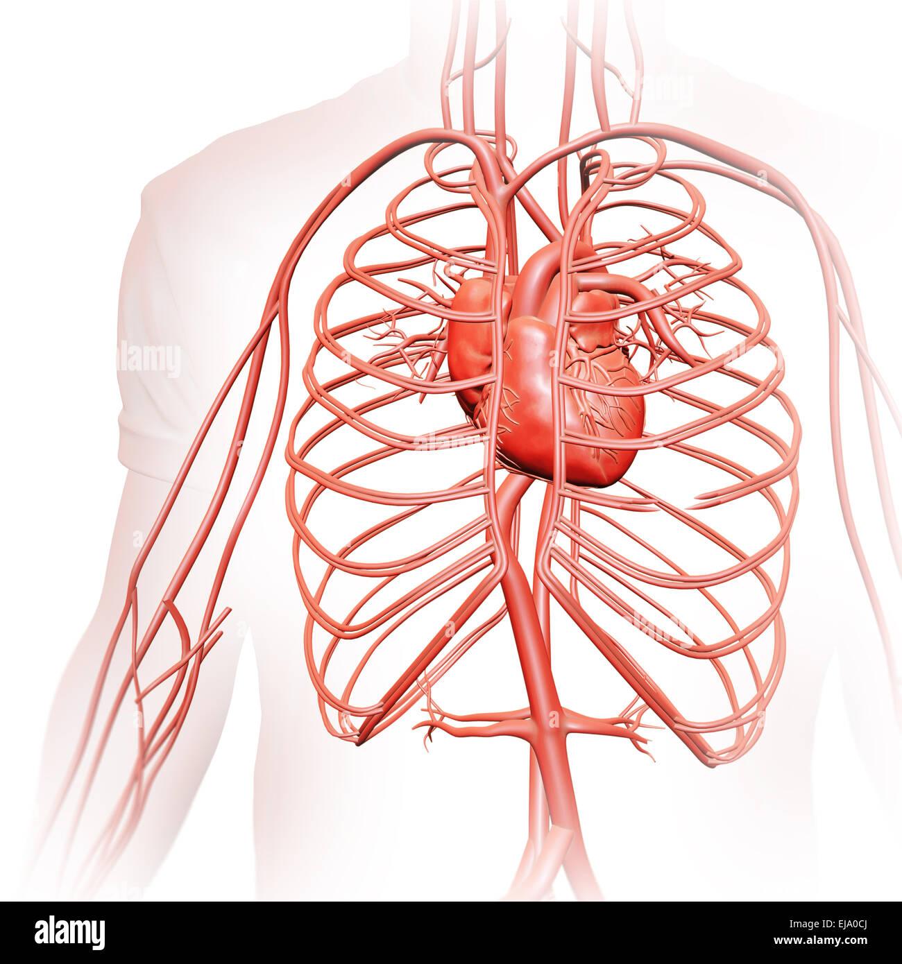Les droits de l'appareil circulatoire - illustration médicale Photo Stock