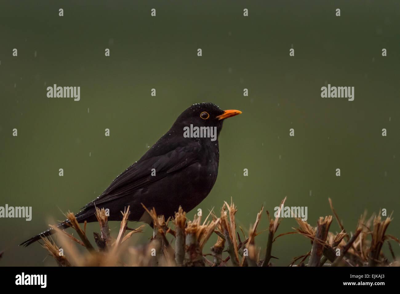 Pleuvoir sur un blackbird dans une haie, Yorkshire, UK Photo Stock