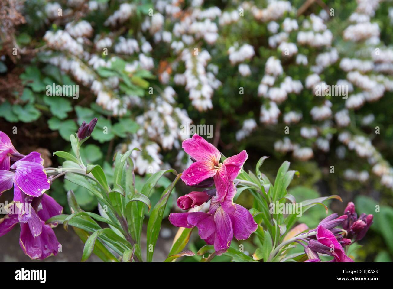 Photo de giroflées mauves sur fond de bruyère blanche Photo Stock