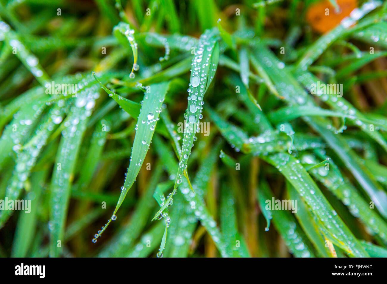 Gouttes de rosée sur les brins d'herbe Banque D'Images