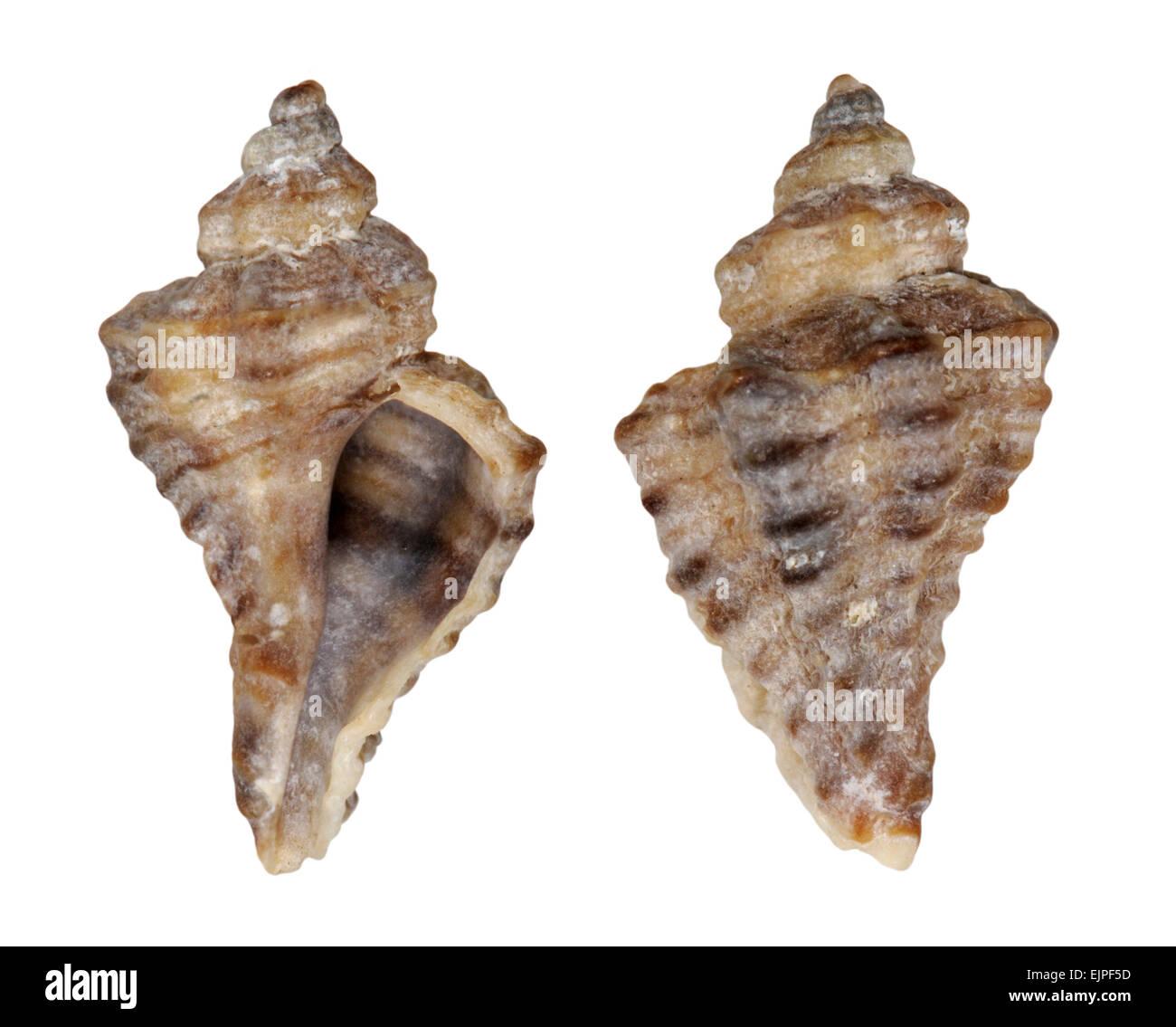 Sting européenne Winkle - Ocenebra erinacea Banque D'Images