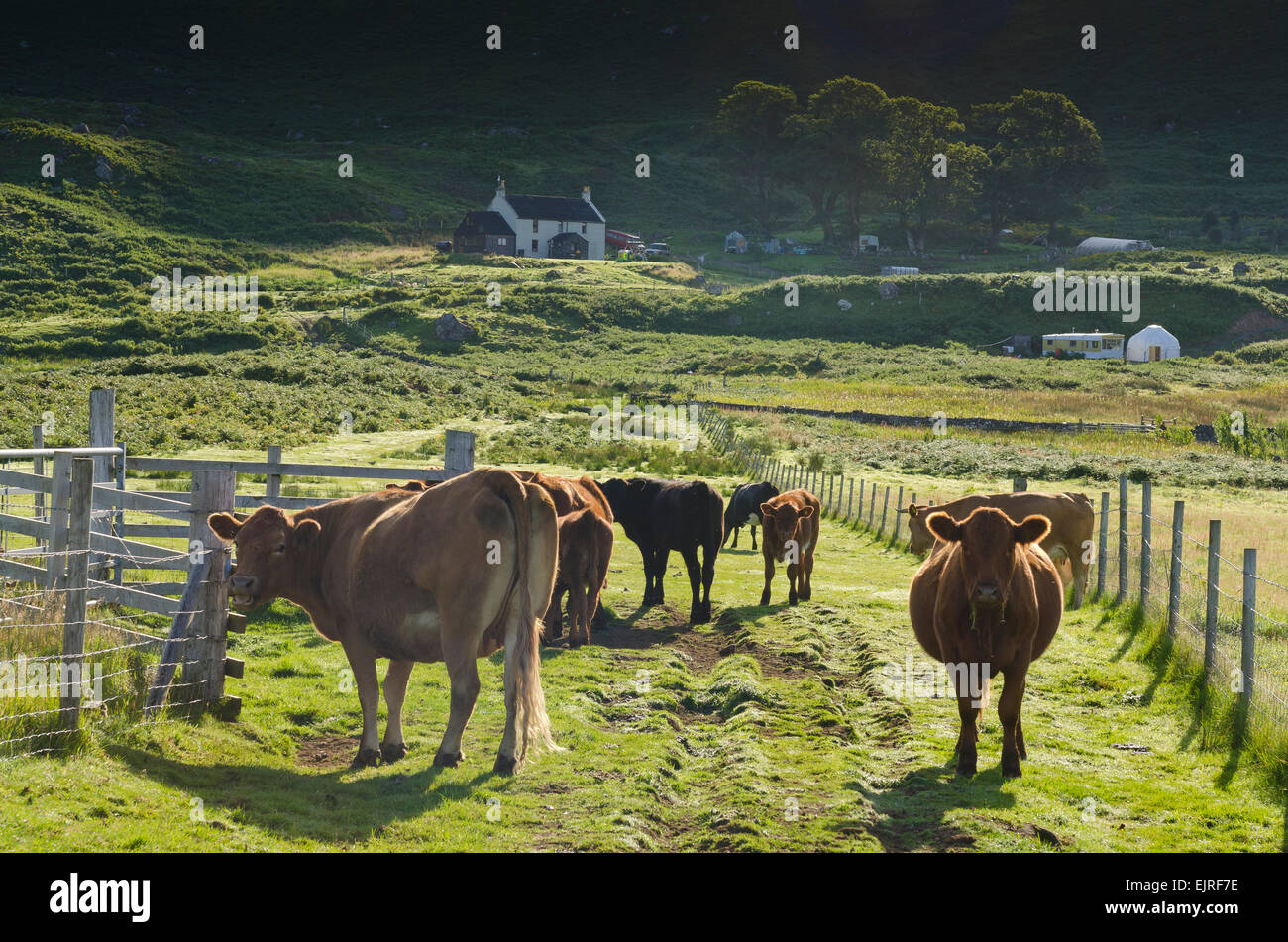 L'élevage du bétail crofting eigg croft cottage Photo Stock