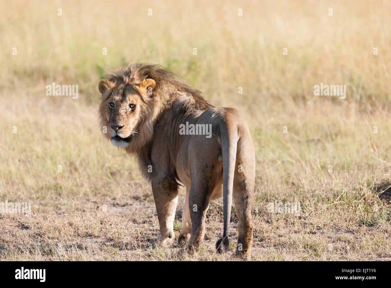 Lion dans la savane de l'Afrique Photo Stock
