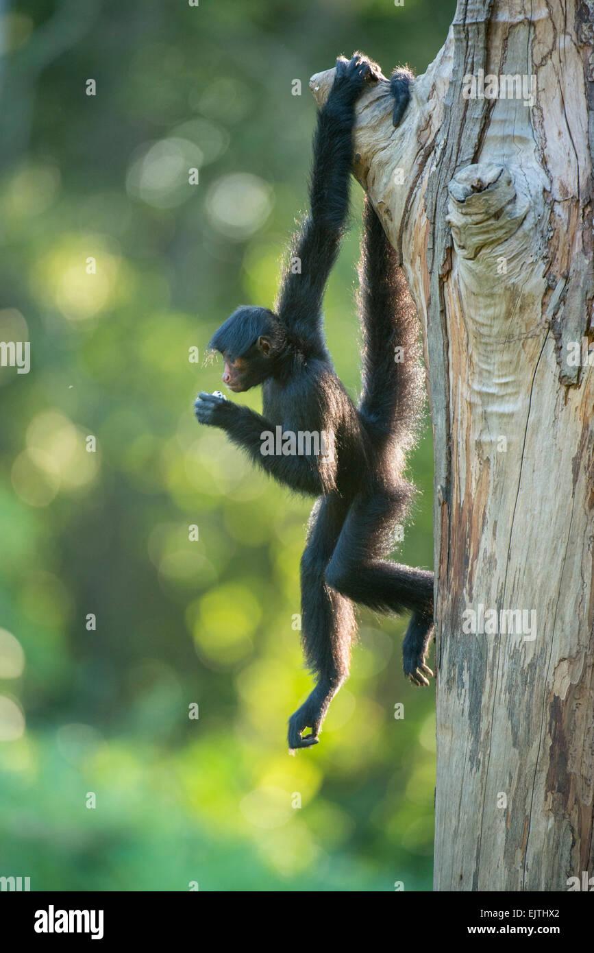 Singe araignée noire, paniscus ateles, le Suriname, l'Amérique du Sud Photo Stock
