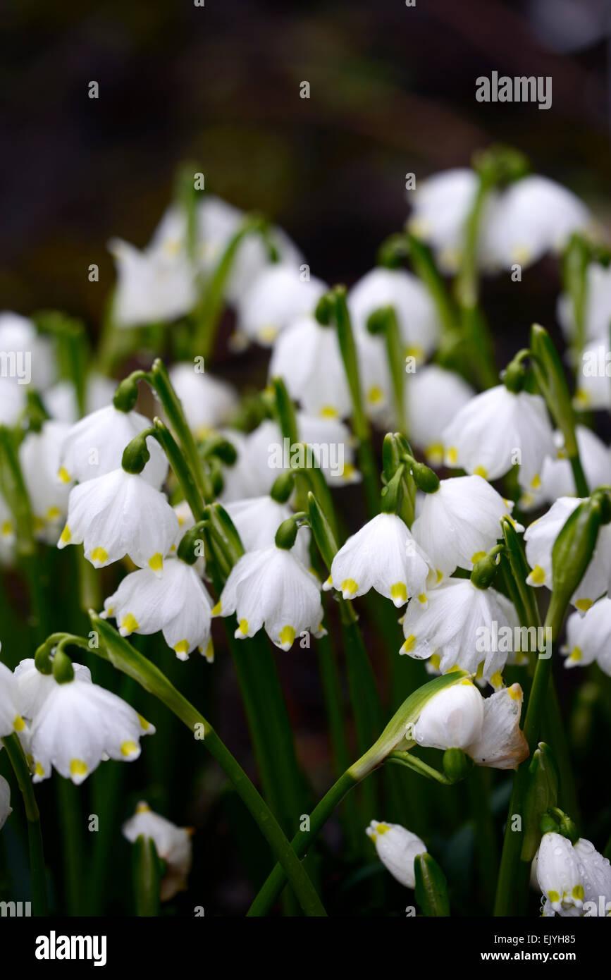 Leucojum Vernum Flocon De Neige De Printemps Fleurs Fleur Bouquet