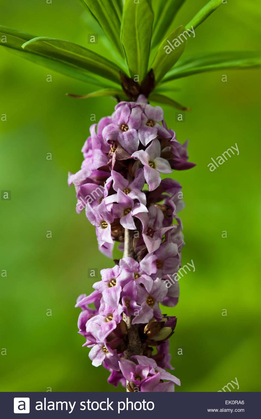 Daphne mezereum 'Rubra' paradise plant Photo Stock