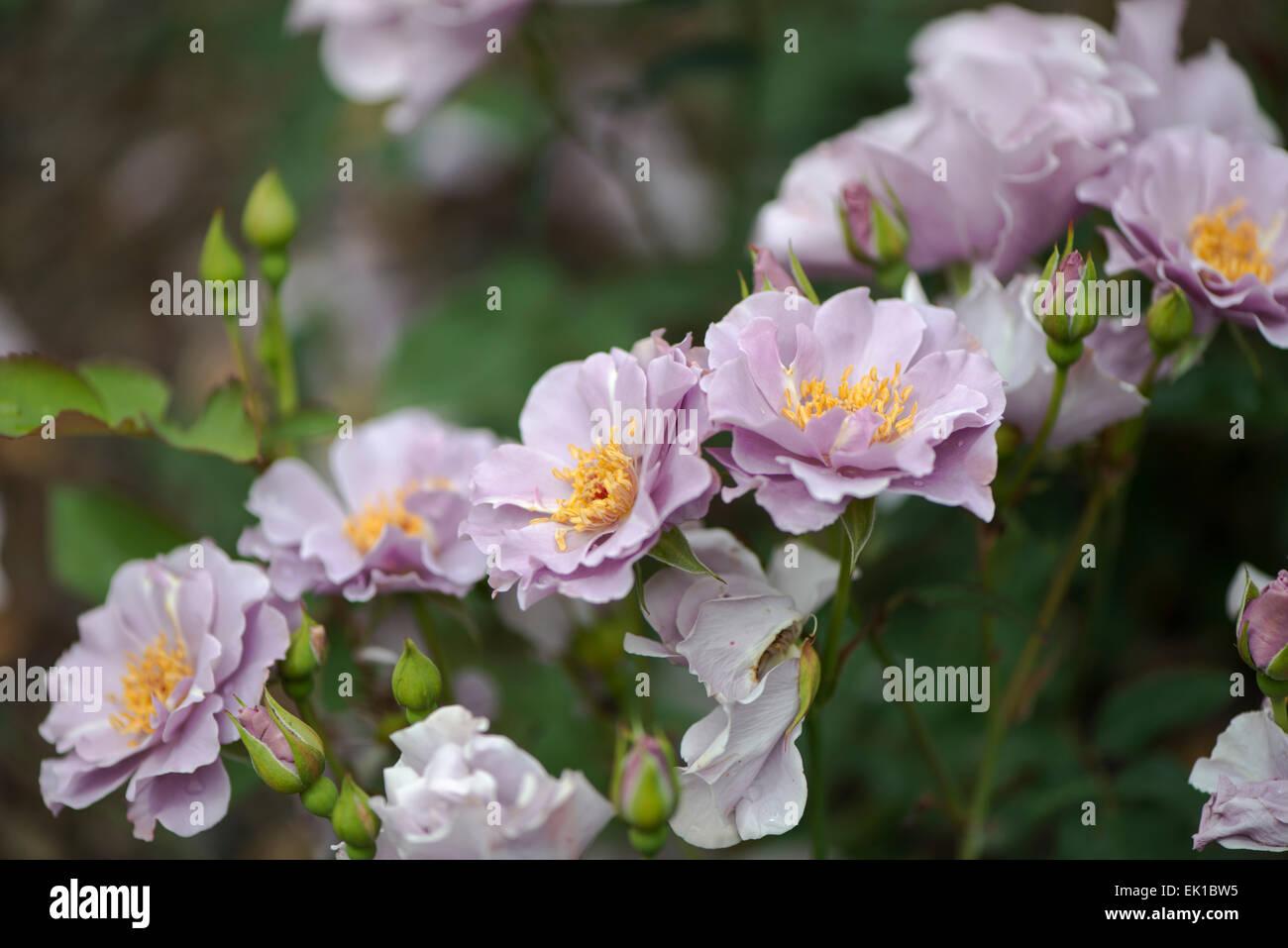 Couleur Lavande Rose Japonaise Murasaki No Sono Banque D Images