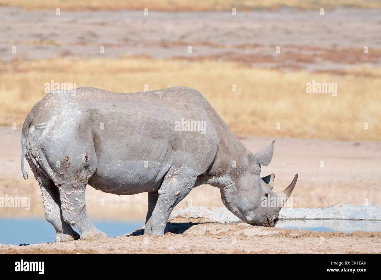 Le rhinocéros noir (Diceros bicornis), mâle adulte boire d'une eau, Etosha National Park, Namibie, Photo Stock