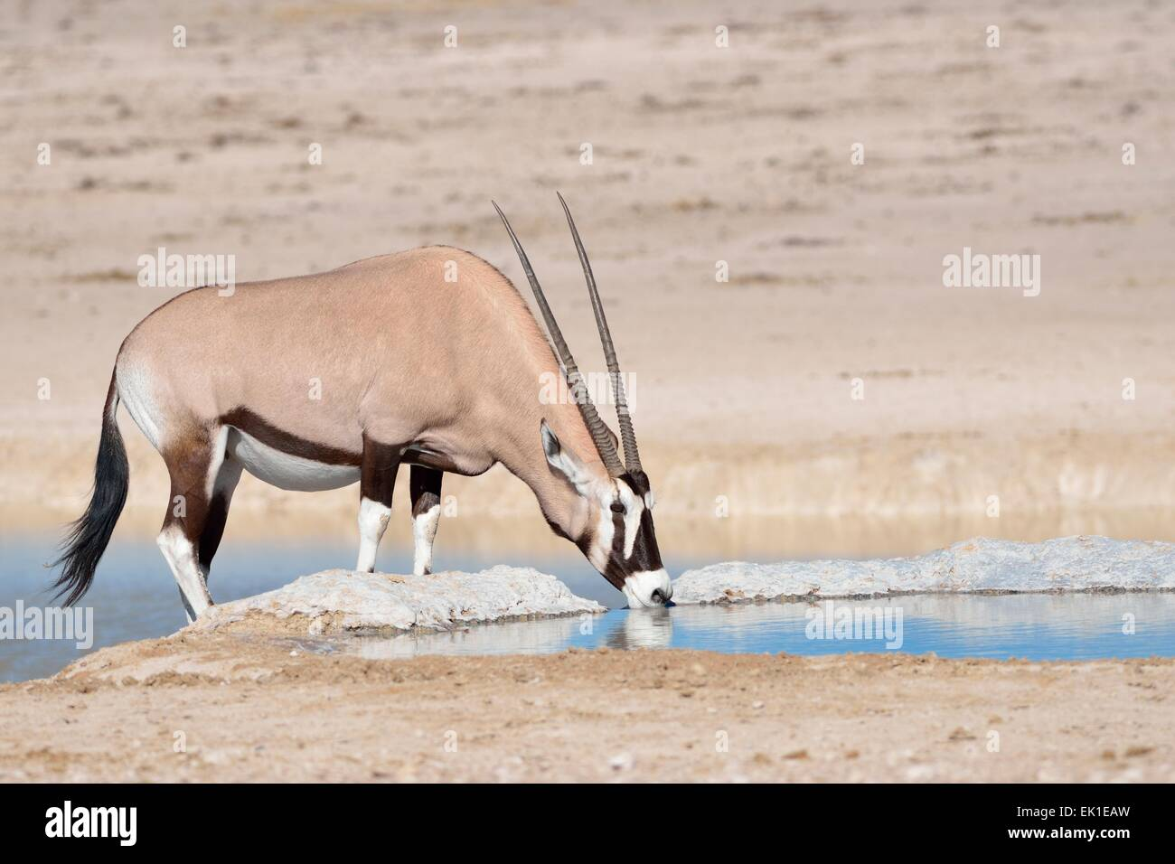 Gemsbok (Oryx gazella), femelle adulte de boire à un point d'Etosha National Park, Namibie, Afrique Photo Stock