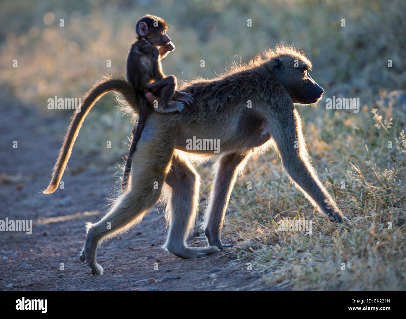 Babouin femelle et bébé dans le Parc National de Chobe, au Botswana Photo Stock