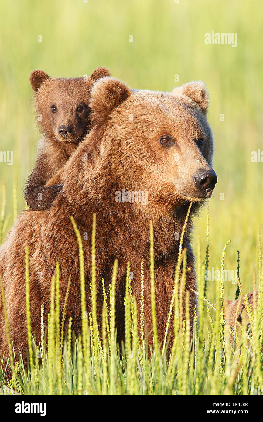 Brown / Grizzli, Lake Clark National Park, Alaska Photo Stock