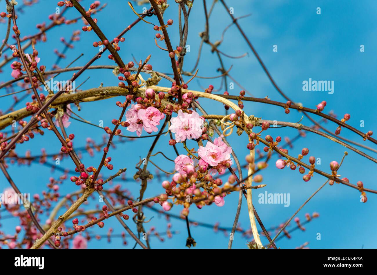 Sur une Fleur de prunier d'ornement (également connu sous le nom de Cherry Plum, le myrobolan Prune, prune, Photo Stock
