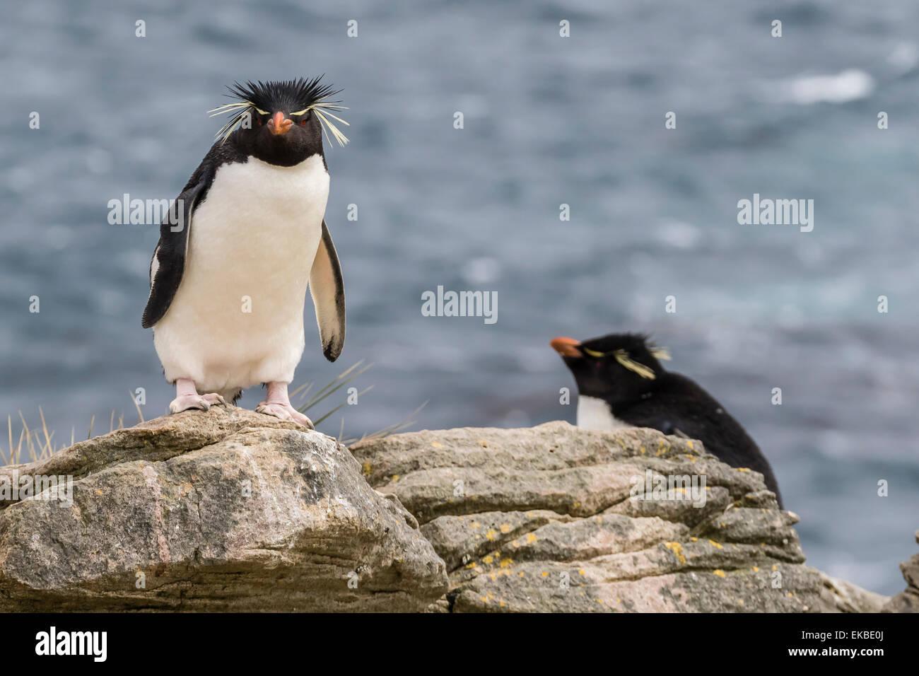 Des profils avec Rockhopper Penguin (Eudyptes chrysocome) au site de nidification sur l'île nouvelle, Îles Photo Stock